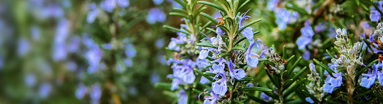 Romarin, la plante aux bienfaits santé reconnus