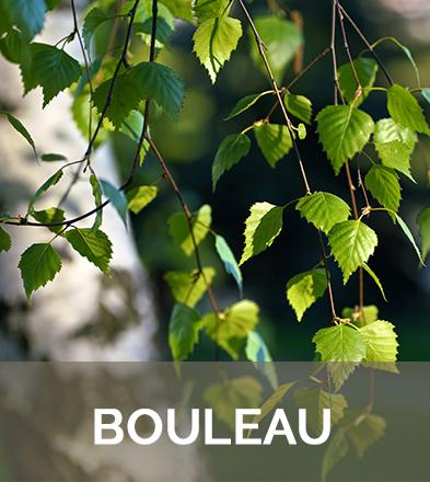 bouleau feuilles biophenix