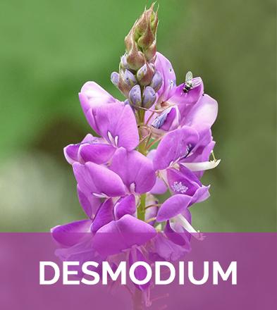 Desmodium adscendens biophenix