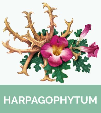 Harpagophytum biophenix